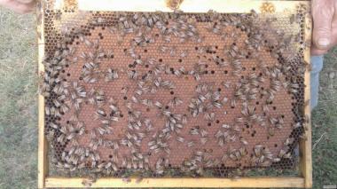 Плідні Бджоломатки Бакфаст