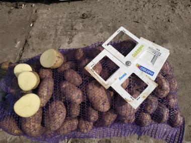 Реализуем картофель сорт Ривьера,Тоскана,Бельмонд 5+ Цена: 3,50 грн.