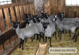 Овцы романовской породы не дорого