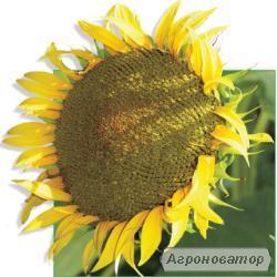 Крепыш семена подсолнечника