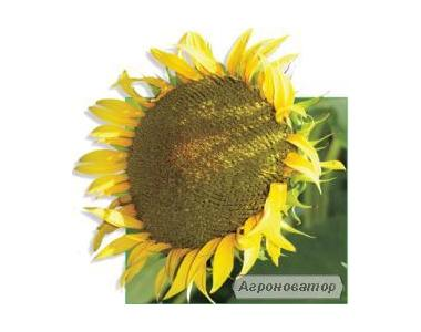 Здоровань насіння соняшнику