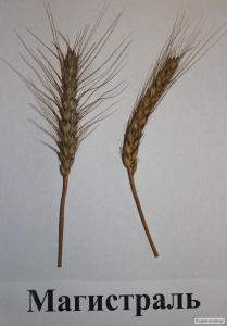 Семена пшеницы  озимой - сорт Магистраль. Элита