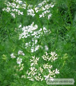 Коріандр посівний 500 грам