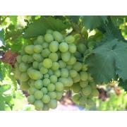 Виноград столовый купить с поля