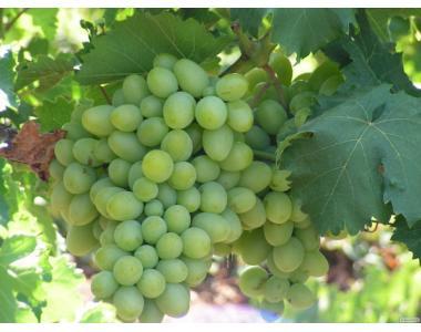 Виноград столовий купити поля