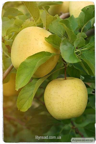 Саженцы яблони, сорт