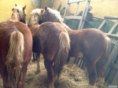 продаються коні