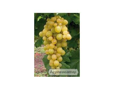 Натуральное домашнее вино оптом (от 50л)