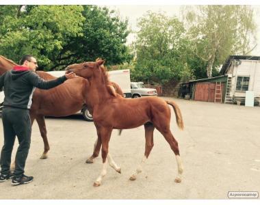 Английские чистокровные лошади, гуцулка
