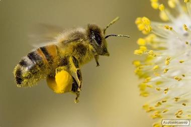 Настоянка воскової молі, Бджолина Вогнівка. Гарантія якості. Доставка