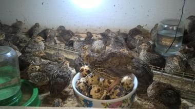 инкубационные яйца породы Фараон