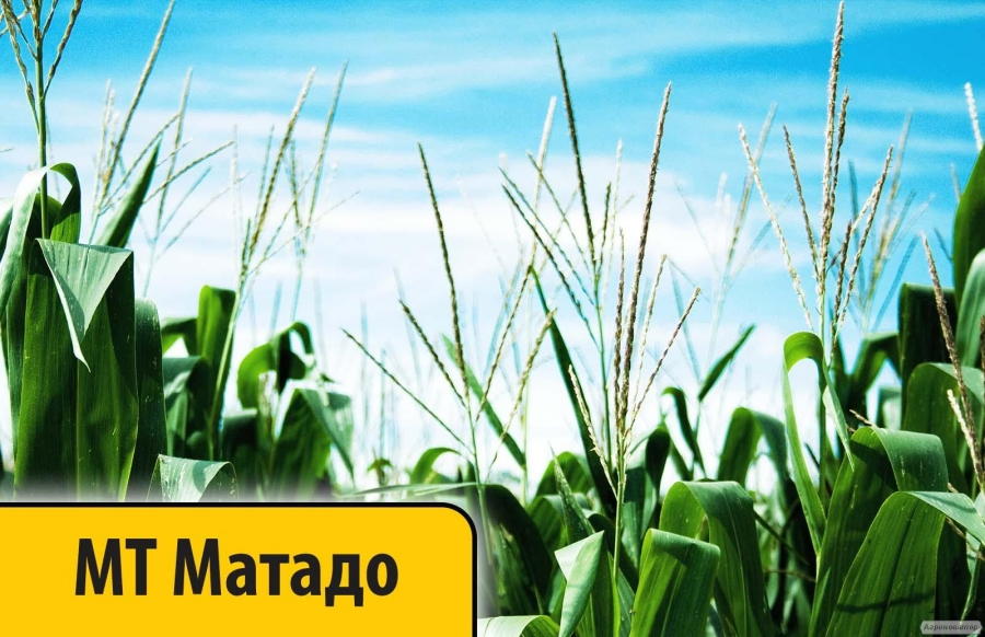 Гибрид Кукурузы МТ Матадо ФАО 380