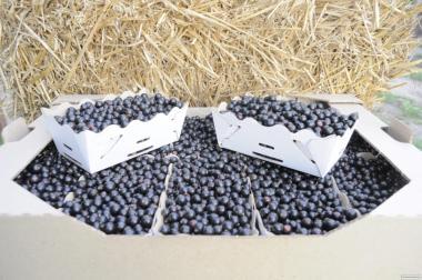 Саженцы черной смородины. Юбилейная Копаня (второй сорт)