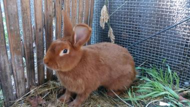 Кролики - Новозеландський Червоний (НЗК).