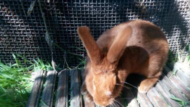 Кролики- Новозеландский Красный (НЗК).