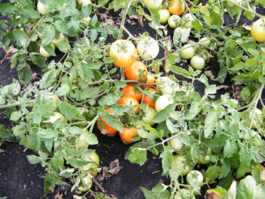 Рассада урожайных грунтовых томатов, Чешской селекци