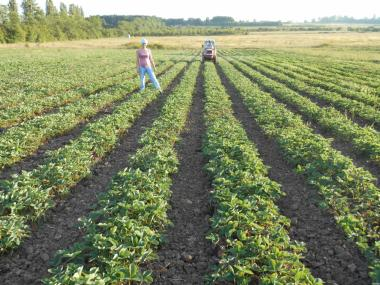 Продажа рассады земляники разных сортов в неограниченном количестве