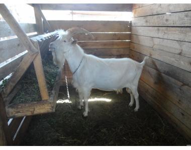 взрослый чистокровный зааненский козел