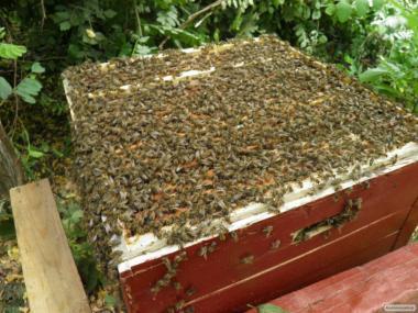 Одеська обл бджолопакети