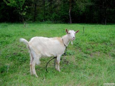 Продаются козочки и козлята