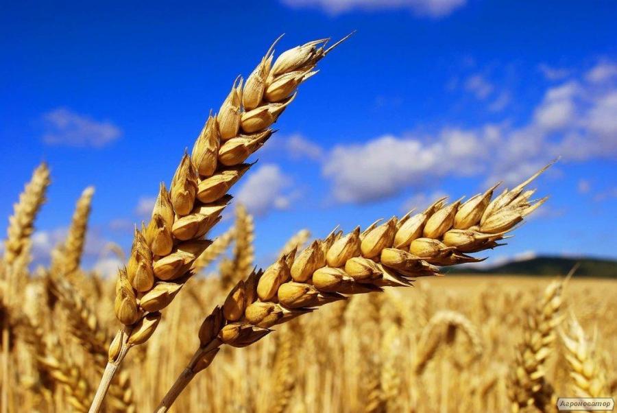 Предприятие закупает пшеницу 1го,2го,фураж