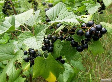 Саженцы черной смородины разных сортов