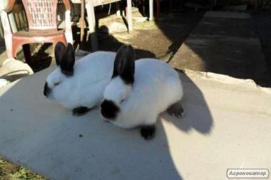 продам кроликов калифорнийцев