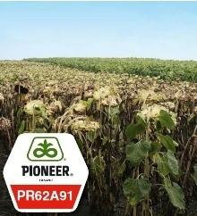 Подсолнечник пионер ПР62А91 / PR62A91