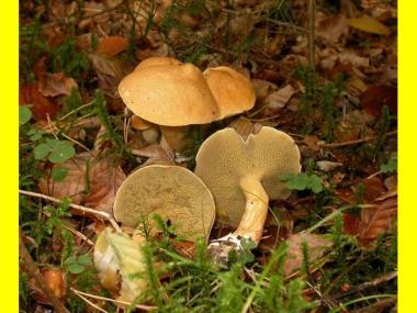 Мицелий Козляка / Решетняк (Suillus bovinus)