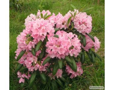 Саженцы фруктовых деревьев, кустов и цветов