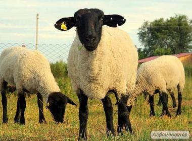 Продаются овцы, бараны, ягнята породы Суффолк, Прекос.
