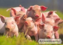 куплю свиней