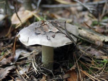 Мицелий Рядовки серой / Рядовка штриховатая (Tricholoma portentosum)