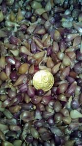 Продам семена чеснока Любаша.Воздушка, однозубка, зубец 1 репродукции.