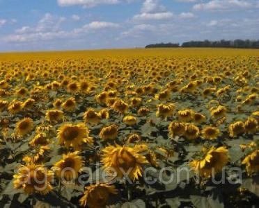 8Н358КЛДМ семена подсолнечника Dow Seeds