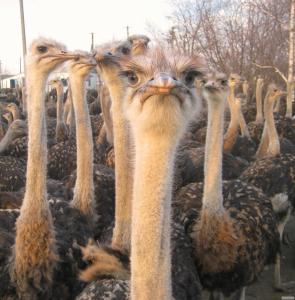 Чорні африканські страуси