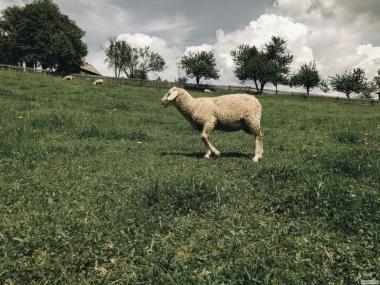 Племенные овцы породы