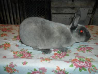 Продам кролики шкуркових пород