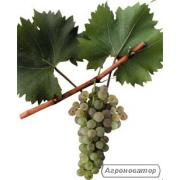 Продам виноград сорт Біла Ізабелла Ананасна