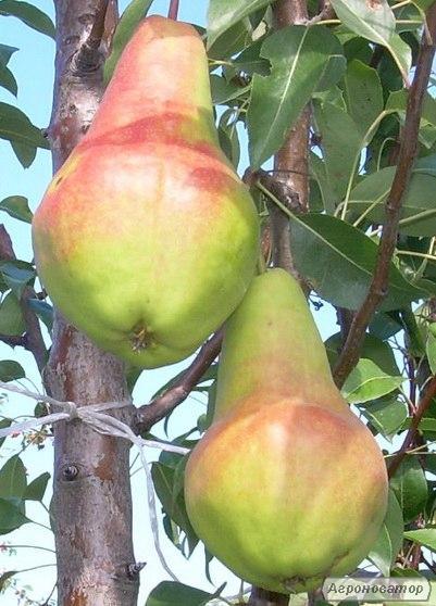 Саджанці груші сорту Кавказ, відмінної якості, від виробника