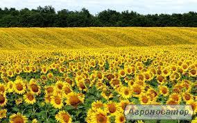 Семена подсолнечника засухожароустойчевый гибрид F1 Солтан