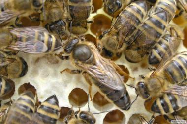 Пчеломатки карника 2018