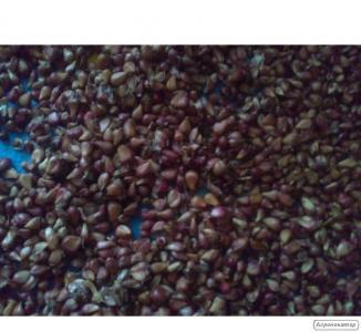 Воздушка (семена) чеснока Любаша