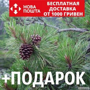 Сосна жёсткая семена (50 шт) (Pinus rigida) для выращивания саженцев