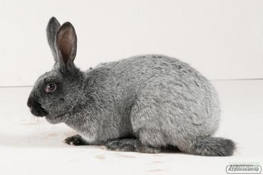 Продам племінних кроликів: Фландрія, Полтавське срібло