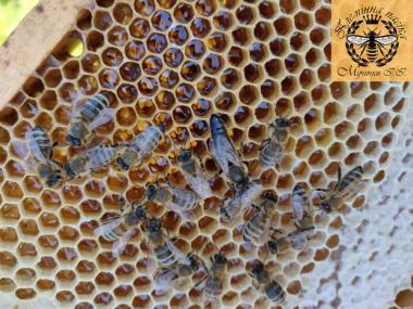 Продам чистопородные пчеломатки карпатской породы