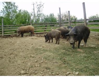продам свині породи мангал
