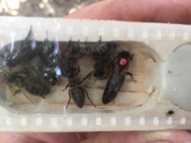Продаем пчеломатки, продам пчеломатки Карпатка.