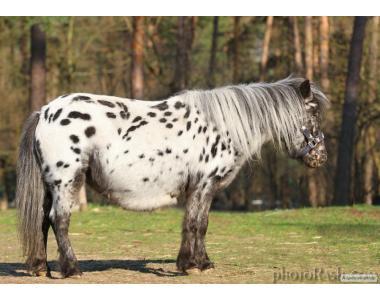 Продається кобила поні