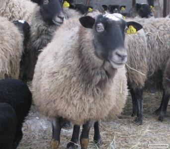 Вівці, барани валухи яскраві ягнята мериноси цыгеи і романівські